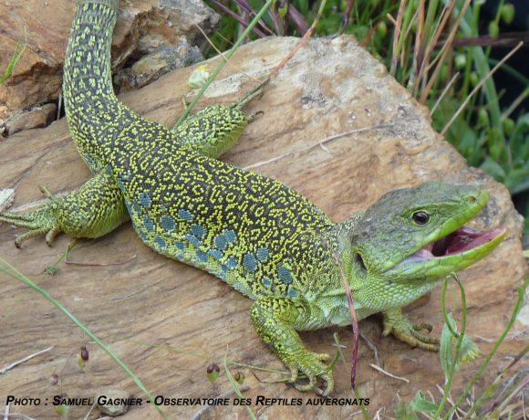 A la découverte des reptiles auvergnats