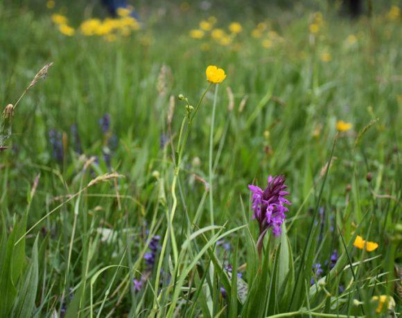 Les prairies naturelles de l'Est Cantal : une biodiversité nécessaire au territoire